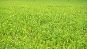 Green agricultural field, green grass on wind. stock video footage