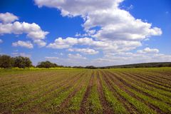 Green agricultural sow field in country. Green agricultural sow field and blue sky in country at nice summer day in Russia Royalty Free Stock Photo