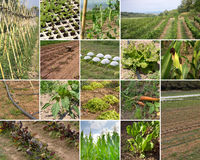 Green Agriculture. Collage  of organic agriculture farms photographies Royalty Free Stock Photography