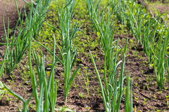 Green, agriculture, plant, grass, field, onion, vegetable, nature, food, farm, garden, spring, growth, leaf, garlic, organic, corn. Onions growing on the bed stock image