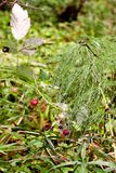 Green air bush with dew in the form of umbrellas. Near red raspberries and there are a couple of snails. royalty free stock images
