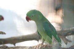 Green Alexandrine parakeet Royalty Free Stock Photography