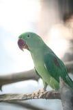 Green Alexandrine parakeet perching Royalty Free Stock Images