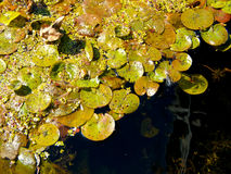 Green Algae. Growing on the water's surface Royalty Free Stock Images
