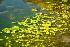 Green Algae. Growing on the water's surface stock images