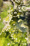 Green algae Royalty Free Stock Photos
