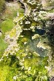 Green algae Royalty Free Stock Photos
