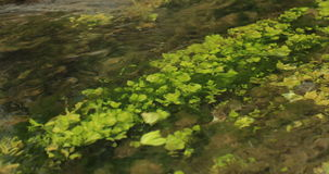 Green Algae and Aquatic Plants in River. stock video