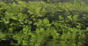 Green Algae and Aquatic Plants in River. stock video footage