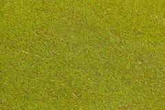 Green algae. Stock Photography