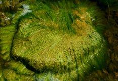 Green Algae. Close on green algae on the rock near the river royalty free stock photography