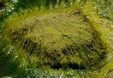 Green Algae. Close on green algae on the rock near the river royalty free stock images