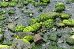 Green algae cover of stones. At a beach during low tide royalty free stock images