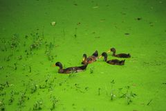 Green algae in the duck Royalty Free Stock Images