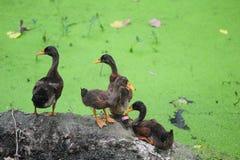 Green algae in the duck Stock Photos