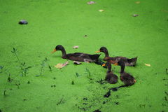 Green algae in the duck. The duckling in green morass Royalty Free Stock Photo