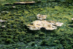 Green algae grow under water Royalty Free Stock Photography
