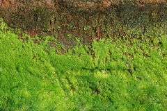 Green algae on concrete Wall stock images