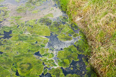 Green algae Royalty Free Stock Image