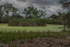 Green Algae Lake. Green swamp land royalty free stock images