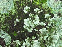 Free Green. Algae. Lichens. Moss. Tree Bark. Texture. Close-Up. Background Royalty Free Stock Image - 179735476