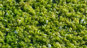 Green algae in the marine estuary Royalty Free Stock Images