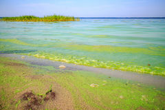Green algae on the pond. All the water in the lake is green Stock Images