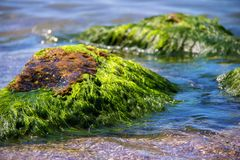Green algae on a rock in the middle of the sea. Stone, rocks, algae and sea, shore and stones. Beautiful landscapes, seaside, natu Stock Photo