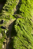 Green Algae on Rocks Stock Images