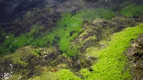 Green algae on rocks at shallow depths near the coast, Black Sea, Bulgaria stock footage