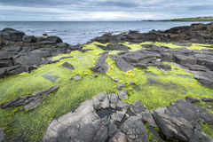 Green algae on rocky Nort Irish coastline Stock Images