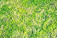 Green algae on sand beach Royalty Free Stock Image