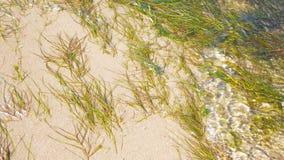 Green algae. Green algae on the sand under the water stock photos