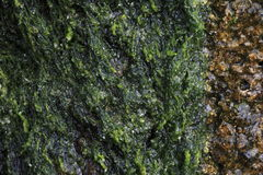 Green algae and sandstone Royalty Free Stock Images