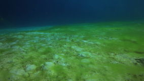 Green algae on a sandy bottom deep underwater in Red sea. World of colorful beautiful wildlife of coral reefs. Inhabitants in search of food. Abyssal diving stock footage