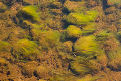 Green Algae in Stream. Green algae, such as beards, attached to rocks from a stream of clear water and gently moving with the flow stock images