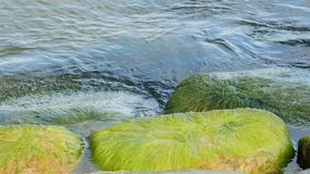 Green algae, such as beards, attached to rocks. stock video footage