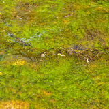 Green algae in water Royalty Free Stock Photo