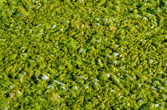 Green algae with water. Royalty Free Stock Photos
