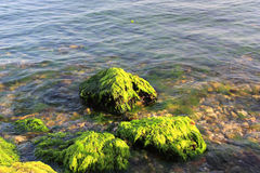 Green algaes over rocks Stock Photography