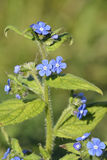 Green Alkanet Stock Images
