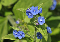 Green Alkanet Stock Photography