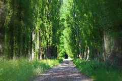 Green alley. Mysterious, green alley with tall tree Stock Images