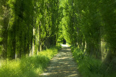 Green alley. Mysterious, green alley with tall trees Royalty Free Stock Images