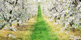 Green alley in the orchard Royalty Free Stock Photo