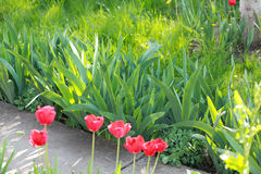 Green alley, tulips Royalty Free Stock Photo