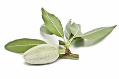 Green almond. Royalty Free Stock Images