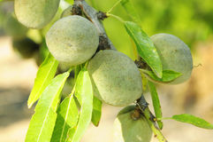 Green almonds. A branch of almond tree with some green almonds with its shells Stock Images