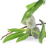 Green almonds Stock Images