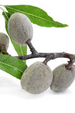 Green almonds Stock Image